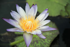 Purple Lotus. In the pond Stock Images