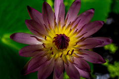 Purple lotus. In a pond Royalty Free Stock Image