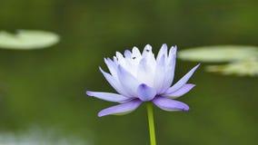 The purple lotus. The purple lotus in the pond stock video footage