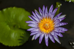 Purple lotus in pond, background Royalty Free Stock Photos