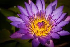 Purple lotus in pond. Stock Photos