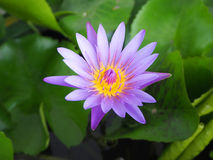 Purple lotus in pond Royalty Free Stock Photos