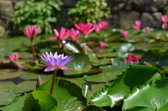 Purple lotus in the pond Stock Photos
