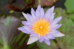 Purple lotus. Royalty Free Stock Image
