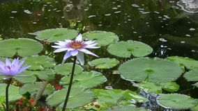 Purple Lotus in a pond. A purple lotus flower floats gently and serenely in a pond stock video