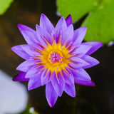 Purple Lotus in pond Royalty Free Stock Photography