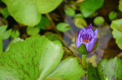 Purple lotus in the pond Stock Photo