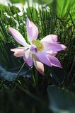 Purple lotus. In the pond in the garden Stock Photo