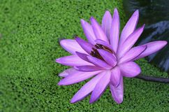 Purple lotus. In the pond in the garden Royalty Free Stock Photography