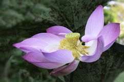 Purple lotus. In the pond in the garden Royalty Free Stock Photos