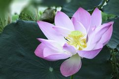 Purple lotus Royalty Free Stock Photography