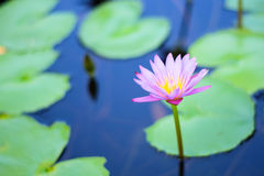Purple lotus in a pond Royalty Free Stock Photo