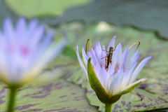 A purple lotus Royalty Free Stock Photos
