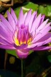 Purple Lotus in pond Stock Photos