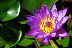 Purple Lotus in pool Stock Images