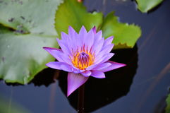 Purple lotus in the pool Royalty Free Stock Photography