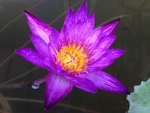 Purple lotus. In the poud Stock Image