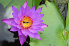 Purple Lotus - purple flowers. Stock Photography