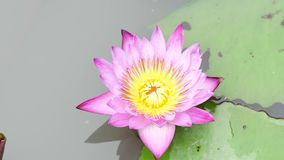 A purple lotus. Is one of the beautiful flower type stock footage