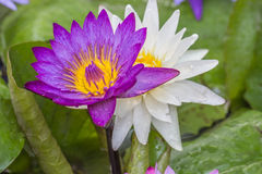 Purple Lotus. Lotus Purple Rain in the morning with the sun light Royalty Free Stock Images