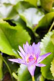 Purple Lotus. Is in the river stock photo