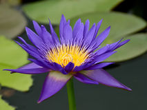 Purple lotus on the river Royalty Free Stock Photos