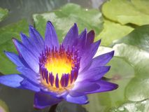 Purple lotus in the swamp. Single purple lotus in the swamp Royalty Free Stock Photo