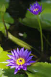 Purple lotus in thailand. Purple lotus in a pond Royalty Free Stock Photos