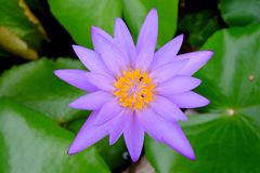 Purple Lotus thailand. Rain season. Beautiful time Royalty Free Stock Photos
