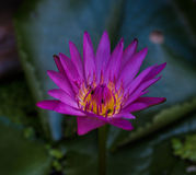 Purple Lotus. UBON RATCHATHANI, THAILAND - July 14: Lotus in Temple Thailand Stock Photo