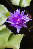 Purple Lotus Vertical 01 Royalty Free Stock Images