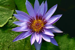 Purple Lotus Water Lilly. On green leaf Royalty Free Stock Images