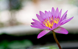 Purple lotus(water lily) with green leaf in pond and Bokeh. In morning Royalty Free Stock Images