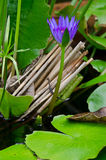 Purple lotus in water Stock Photography