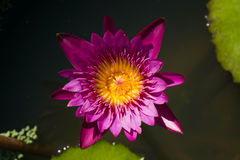 Purple lotus on water. Top view of Blooming purple lotus flower or Purple water lilly Stock Image