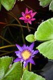 Purple lotus or waterlily has pink one beside Royalty Free Stock Photography