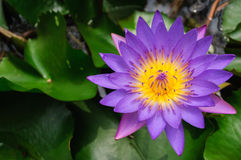 Purple lotus. Purple waterlily with large green water leaves Stock Image