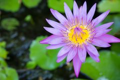 Purple lotus. Purple lotus with yellow carpel and green leaf lotus stock images