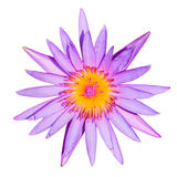 Purple Lotus. With Yellow Pollen Stock Photo