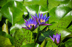 Purple lotuses in the pond Royalty Free Stock Photography