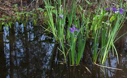Purple Louisiana iris flowers growing wild in dark reflective swamp water royalty free stock image