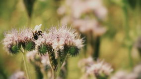 Purple lucerne and bumble bee Stock Photo