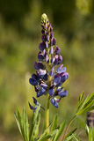 Purple lupin Royalty Free Stock Images