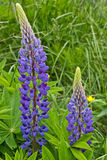 Purple Lupin Flower Stock Images