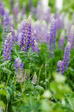 Purple Lupin Flower Stock Image