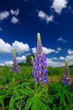 Purple Lupin Flowers Stock Image