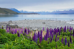 Purple lupin flowers growing by Lake Tekapo in New Zealand Royalty Free Stock Photo