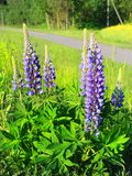 Purple lupin Stock Image