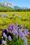 Purple Lupine bloom at the base of a snow covered mountain. Royalty Free Stock Images