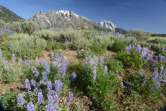 Purple Lupine bloom in the foreground of snow capped mountains. A field of purple Lupine grows in front of snow capped mountains Royalty Free Stock Photography
